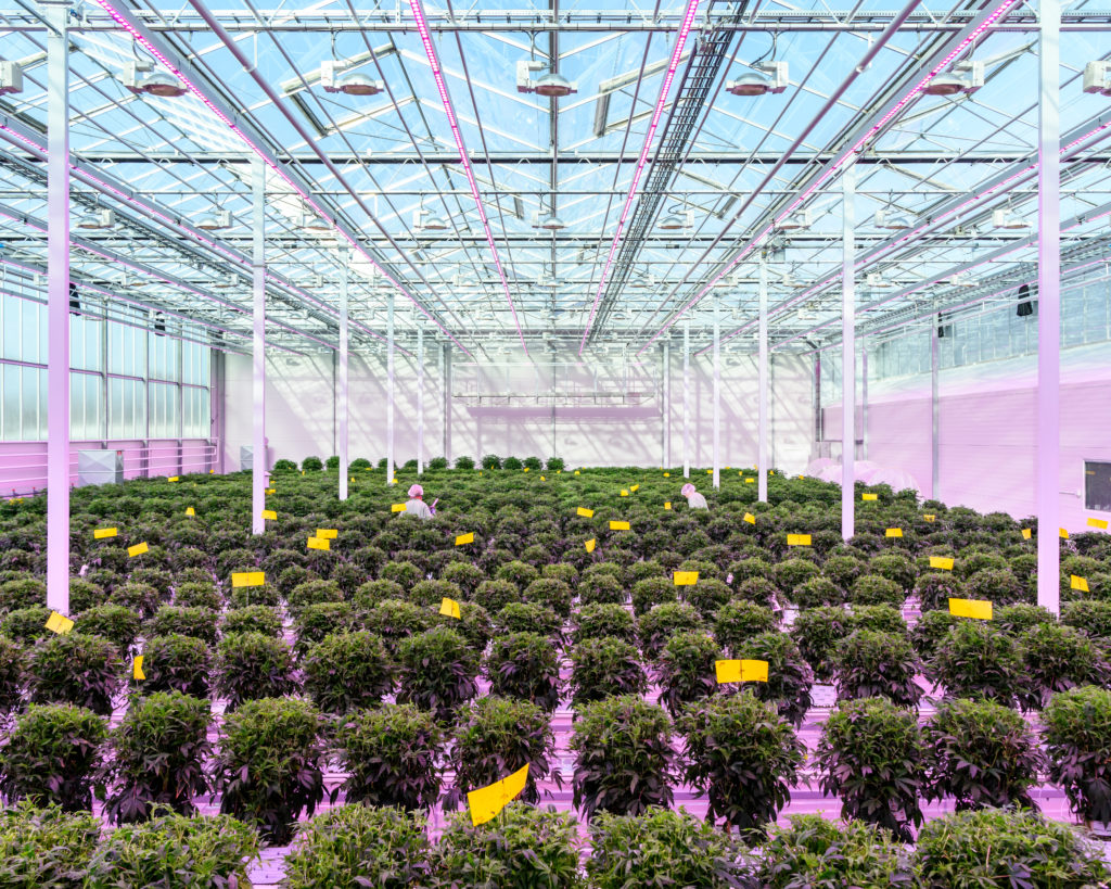 Medicinal cannabis greenhouse, Denmark, 2019
